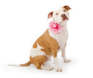 Pretty Pit Bull Terrier Dog. A beautiful American Staffordshire Terrier Pit Bull dog wearing a pink flower collar Royalty Free Stock Photography