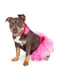Pretty Pit Bull Wearing Pink Tutu Royalty Free Stock Photo