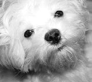 Pretty Please. 6 month old Malte-poo...one of the latest in designer breeds half maltese half poodle stock photo