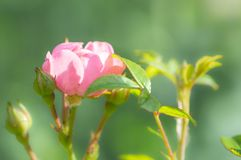 Polyantha rose `The Fairy` in summer garden. Soft focus. Pretty Polyantha rose, pink flowers `The Fairy`. A single pink flower with shallow focus in a summer Stock Photos