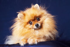 Pretty Pomeranian on a blue background Stock Images