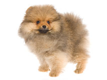 Pretty Pomeranian puppy on white background Stock Image