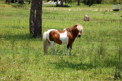 Pretty Pony outstanding in his field. A pretty little pony grazes in a field royalty free stock photography