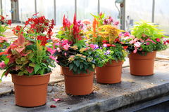 Pretty potted plants on old wood table Royalty Free Stock Images