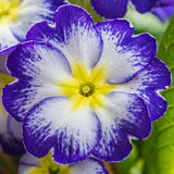 Pretty Primrose Royalty Free Stock Photos