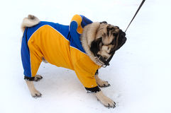 Pretty pug-dog in winter outerwear. Stock Photography