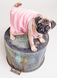 Pretty Pug in Pink Sun Dress Royalty Free Stock Photography