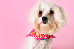 Pretty pup in pink. Shot of a pretty pup in pink Stock Image