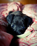 Pretty puppy Royalty Free Stock Image