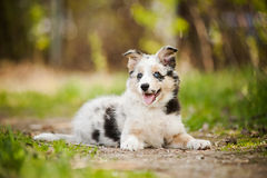 Pretty puppy border collie Royalty Free Stock Photos