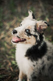 Pretty puppy border collie Royalty Free Stock Images