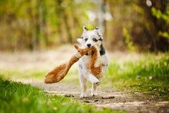 Pretty puppy border collie Royalty Free Stock Photos