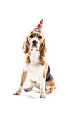 Pretty puppy is celebrating his birthday royalty free stock photography