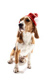 Pretty puppy in celebrating New Year. Marry Christmas. Cheerful dog is sitting and wearing a red hat. The beagle is looking aside with anticipation Stock Photos