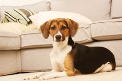 Pretty puppy in living room Stock Photos
