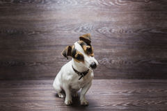 Pretty puppy is staring with curiosity Stock Images