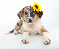Pretty Puppy Royalty Free Stock Photos