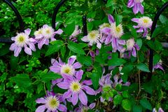 Pretty Purple Columbine Flowers Royalty Free Stock Photo