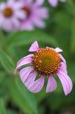 Pretty Purple Coneflower Stock Images