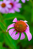 Pretty Purple Coneflower Stock Photos