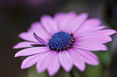 Pretty purple daisy Stock Images
