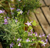 Pretty purple flowers above a wooden deck Stock Photos