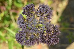 Pretty Purple Flowers Bouquets In The Countryside Of Galicia. Nature, Landscapes, Botany, Travel. August 2, 2015. Rebedul, Lugo,. Pretty Purple Flowers Bouquets royalty free stock images