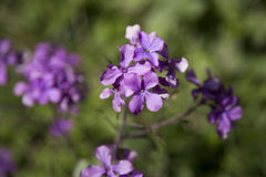 Pretty purple flowers Royalty Free Stock Images