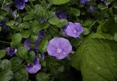 Pretty Purple Flowers in Garden After Rain. Pretty purple flowers in garden with raindrops and green leaves in Background stock images