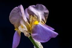 Pretty purple Iris. Stock Image