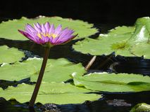 Pretty purple lily pad on a pond stock images