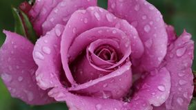 Pretty purple rose. Purple rose with water drops video stock footage