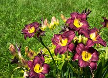 Pretty purple and yellow lilies in a field royalty free stock photo