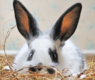 Pretty rabbit Royalty Free Stock Photography