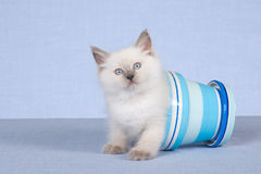 Pretty Ragdoll in blue pot on blue background Stock Photos