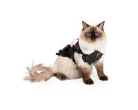 Pretty Ragdoll Cat Sitting in Brown Dress With Faux Fur Collar Stock Image