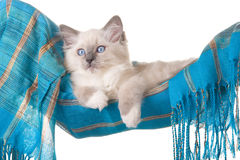 Pretty Ragdoll kitten in blue hammock Royalty Free Stock Photography
