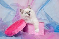 Pretty Ragdoll kitten inside pink box Royalty Free Stock Image