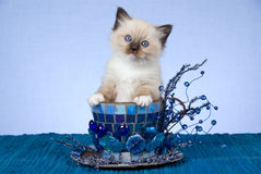 Pretty Ragdoll kitten in large blue cup Stock Photo