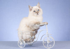 Pretty Ragdoll kitten on miniature bicycle Royalty Free Stock Photos