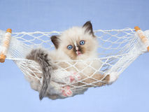 Pretty Ragdoll kitten in miniature hammock. Cute Ragdoll kitten lying in miniature white hammock on blue background Stock Photo
