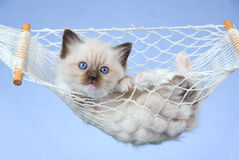 Pretty Ragdoll kitten in miniature hammock. Cute Ragdoll kitten lying in miniature white hammock on blue background Royalty Free Stock Photography
