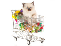 Pretty Ragdoll kitten in shopping cart. Cute Ragdoll kitten sitting miniature shopping cart, on white background Royalty Free Stock Photo