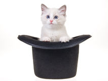 Pretty Ragdoll kitten in top hat. Cute Ragdoll kitten sitting inside black top hat on white background Royalty Free Stock Images