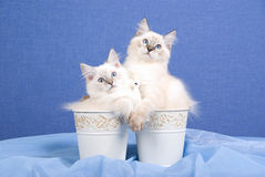 Pretty Ragdoll kittens inside buckets Royalty Free Stock Images