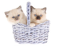 Pretty Ragdoll kittens in lilac basket. Cute Ragdoll kittens sitting inside lilac purple woven basket, on white background Stock Photography