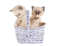 Pretty Ragdoll kittens in lilac basket Stock Photos