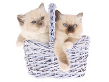 Pretty Ragdoll kittens in lilac basket Royalty Free Stock Image