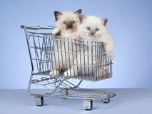 Pretty Ragdoll kittens in miniature cart. Cute Ragdoll kittens sitting inside miniature shopping cart trolley on blue background Stock Photo