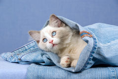 Pretty Ragdoll sitting inside denim jean Stock Photo